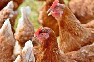 Listeria Monocytogenes (Listeriosis) and Poultry